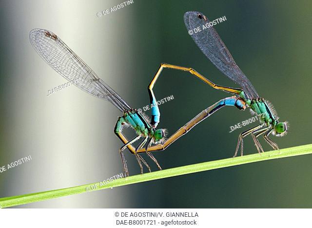 Emerald damselflies (Lestes sponsa) mating, Lestidae, Tuorno River, Melandro Valley, Basilicata, Italy