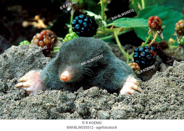 European mole Talpa europaea, lokking out of mole hill
