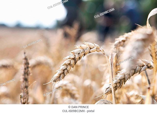 Wheat growing in field, close-up