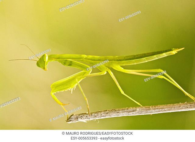 Close up view detail of the beautiful green European Dwarf Mantis insect