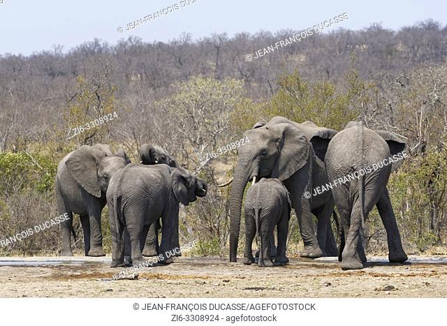 African bush elephants (Loxodonta africana), herd drinking at a waterhole, Kruger National Park, South Africa, Africa