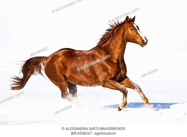 Hanoverian horse, fox, brown, reddish fur, galloping in the snow, Tyrol, Austria
