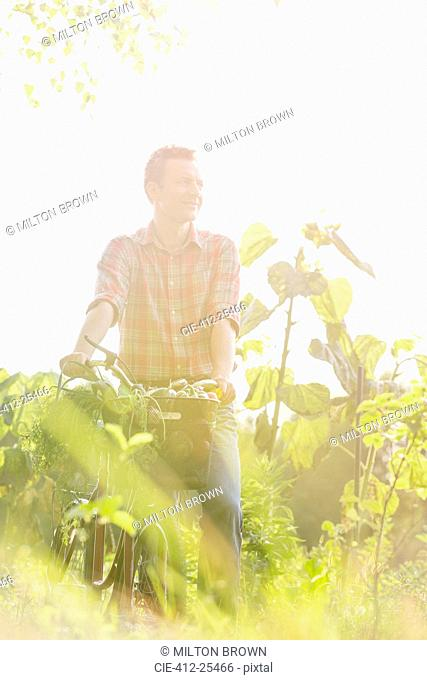 Man walking bicycle and fresh harvested vegetables in basket in sunny field