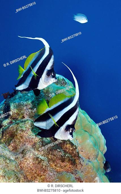 pennant coralfish (Heniochus acuminatus), Pair of Longfin Bannerfish, Fiji, Namena Marine Park