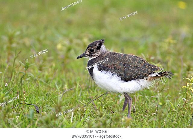 northern lapwing (Vanellus vanellus), not fledged juvenile bird standing in a meadow, Netherlands, Frisia