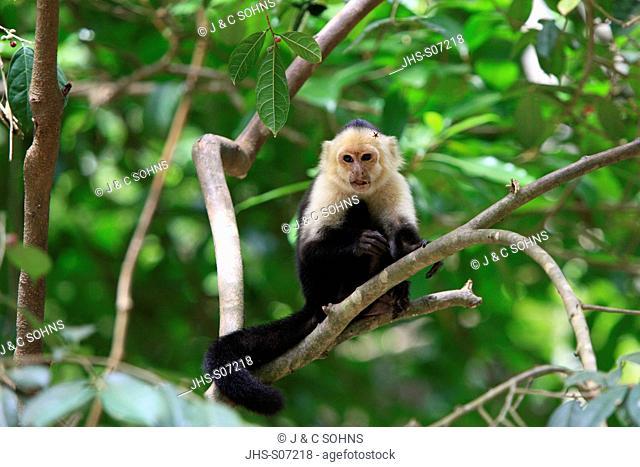 White Throated Capuchin,Cebus capucinus,Roatan,Honduras,Caribbean,Central America,Latin America,male on tree