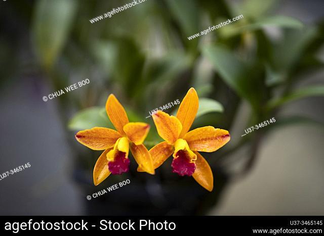 Cattleya orchids at DBKU Orchid Garden, Kuching, Sarawak, Malaysia