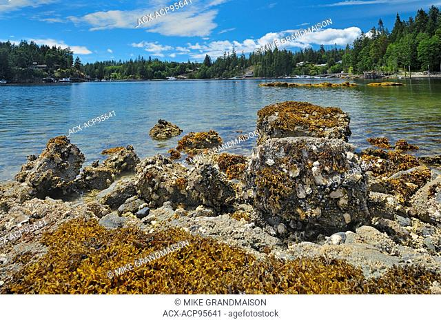 Oyster bed along the Sunshine Coast Pender Harbour British Columbia Canada