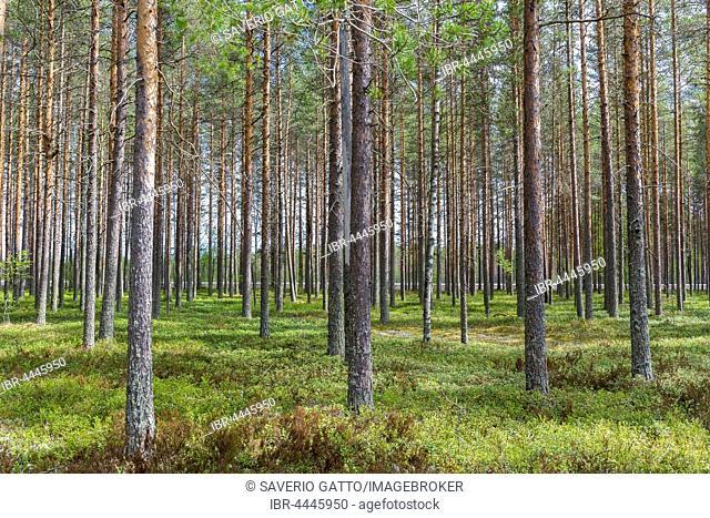 Scots Pines (Pinus sylvestris), trunks in Finnish taiga, Oulu, Northern Ostrobothnia, Finland