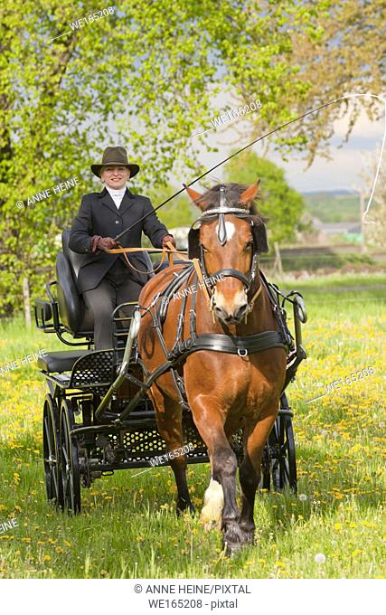 Woman coaching a horse-drawn carriage on a samll countryroad in Bornheim near Bonn, Germany