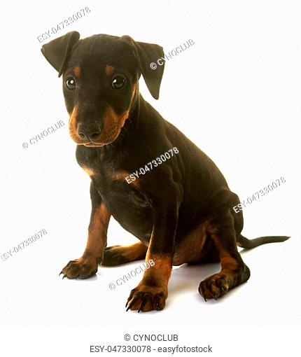 puppy manchester terrier in front of white background