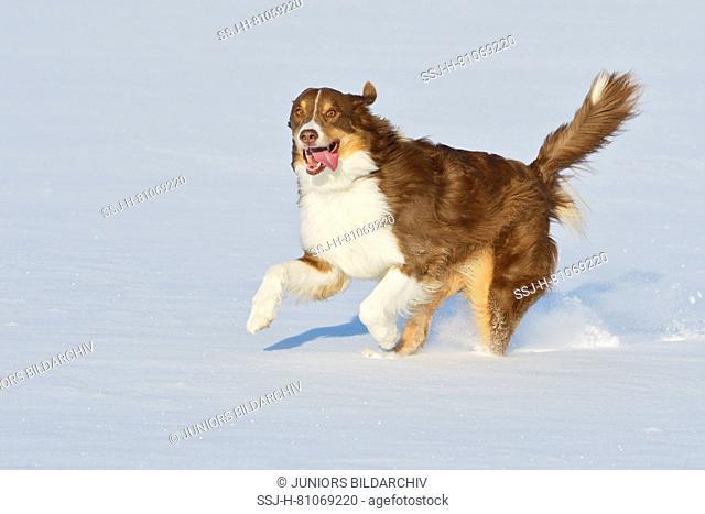 Australian Shepherd. Adult dog running in snow. Germany