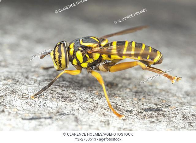 A male Syrphid Fly (Spilomyia longicornis) perches on the side of a tree