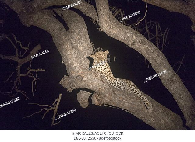 South Africa, Kalahari Desert, savannah, African Leopard (Panthera pardus pardus), climbing in a tree where he put a prey