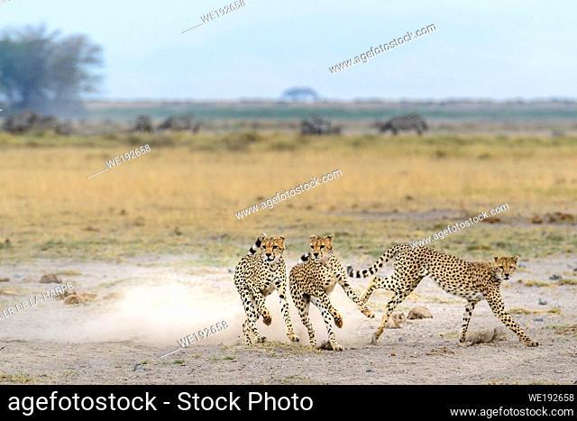 Cheetah (Acinonyx jubatus) running. Amboseli National Park. Kenya