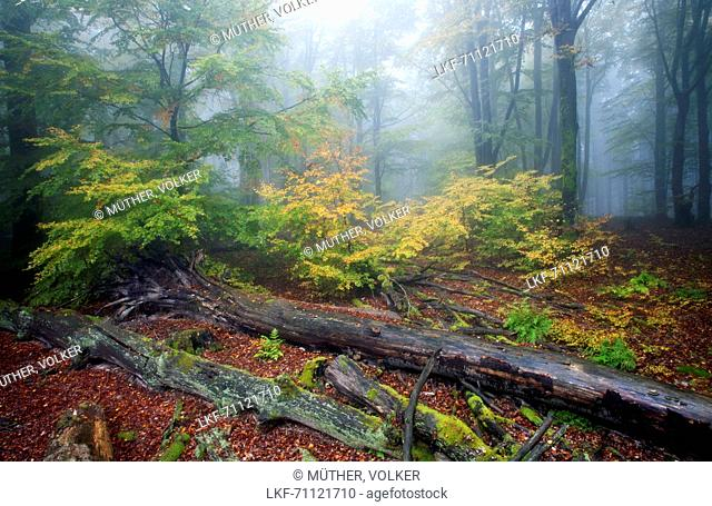 Beech forest, Rohrberg nature reserve, Spessart Nature Park, Lower Franconia, Bavaria, Germany