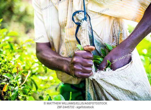 Tea picker filling his bag with tea leaves in a tea plantation in the Sri Lanka Central Highlands and Tea Country, Sri Lanka, Asia