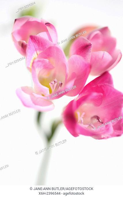 gentle pink freesia stem as sweet as its fragrance