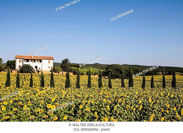 Field of sunflowers in front of farmhouse, Tuscany, Italy