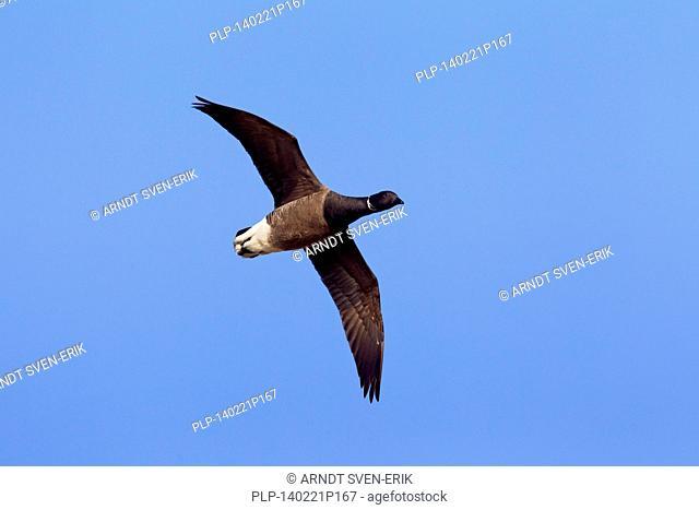 Brent goose (Branta bernicla) in flight