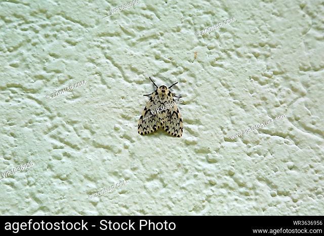 Nonne, Nachtfalter und Forstschädling, Pine moth, Lymantria monacha