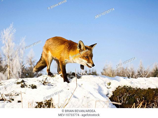 Red Fox - in snow stalking (Vulpes vulpes)