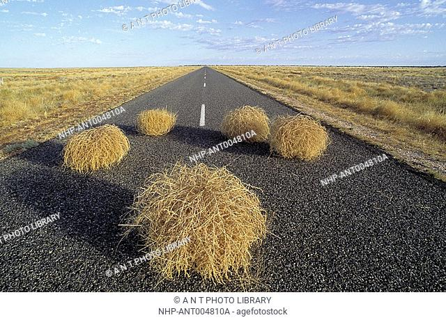 TUMBLEWEED blowing across road in inland grasslands of south western New South Wales, Australia