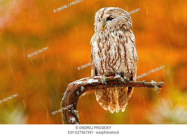 Autumn orange forest. Tawny owl in the forest with tit bird in t