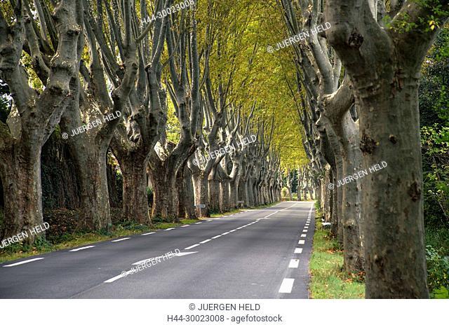 France, Bouches-du-Rhône, Provence-Alpes-Côte d'Azur, Saint-Rémy-de-Provence, Alley of plane trees, near St. Remy de Provence