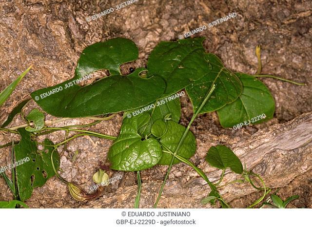 Carnivorous plant, Miranda, Mato Grosso do Sul, Brazil