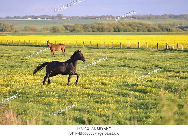 HORSE FROLICKING ON THE PLAIN OF LE HABLE D'AULT, SOMME (80), PICARDIE, FRANCE