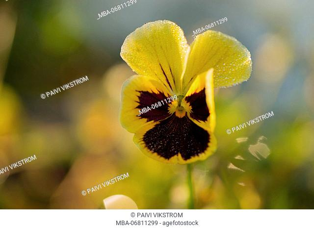 Drops of morning dew on petal of pansy flower, colorful background