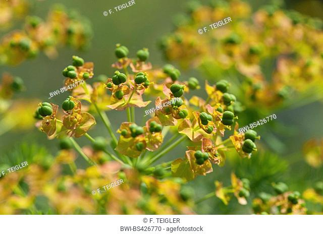 cypress spurge (Euphorbia cyparissias), fruiting, Germany