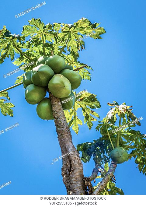 A widely cultivated tropical fruit tree. Paw-paw . Papaya or pawpaw (Carica papaya), a widely cultivated tropical fruit tree