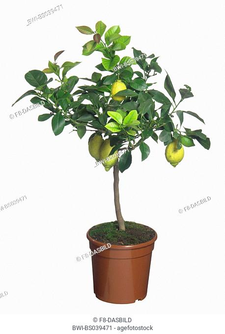 Lemon tree (Citrus limon), potted plant