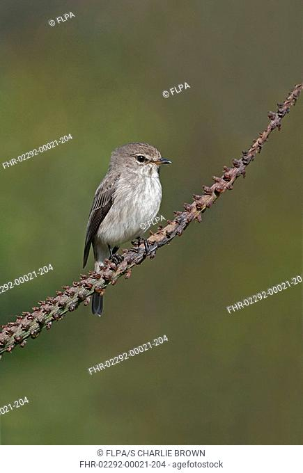 African Dusky Flycatcher Muscicapa adusta adult, perched on plant, Kirstenbosch, CapeTown, South Africa, september