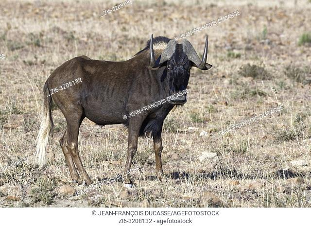 Black wildebeest (Connochaetes gnou), adult male, standing in open grassland, alert, Mountain Zebra National Park, Eastern Cape, South Africa, Africa