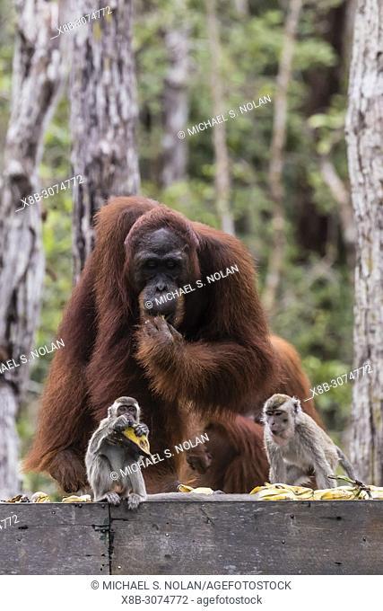 Long-tailed macaques, Macaca fascicularis, with orangutans, Pongo pygmaeus, Borneo, Indonesia