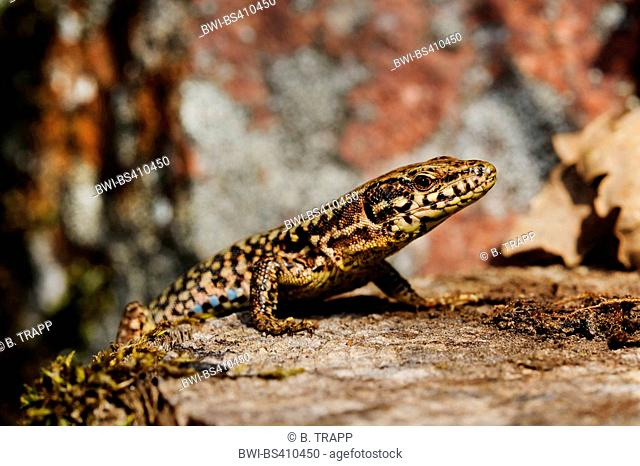 common wall lizard (Lacerta muralis, Podarcis muralis), on a tree snag, side view, Germany, Baden-Wuerttemberg, Black Forest