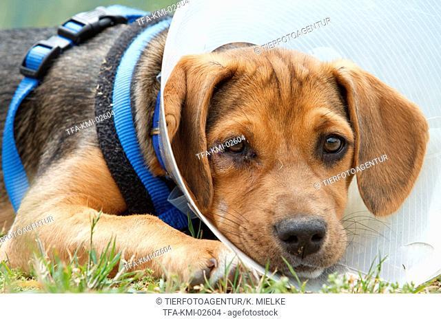 ill Beagle