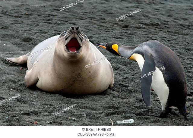 King penguin with Elephant Seal weaner, Macquarie Island, Southern Ocean