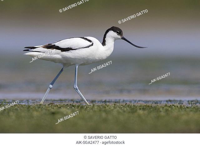 Pied Avocet (Recurvirostra avosetta), adult walking in a swamp
