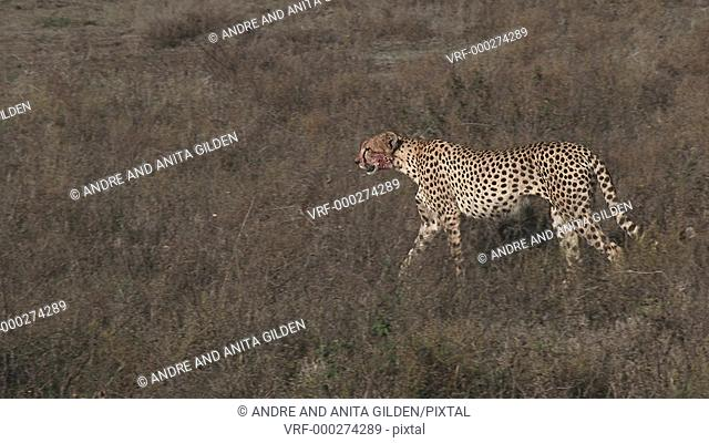 Cheetah (Acinonyx jubatus) walking on the Serengeti plains