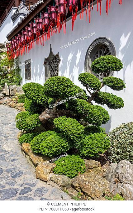 140 year old Hinoki cypress / hinoki false cypress / dwarf hinoki cypress bonzai tree Chamaecyparis obtusa Nana Gracilis