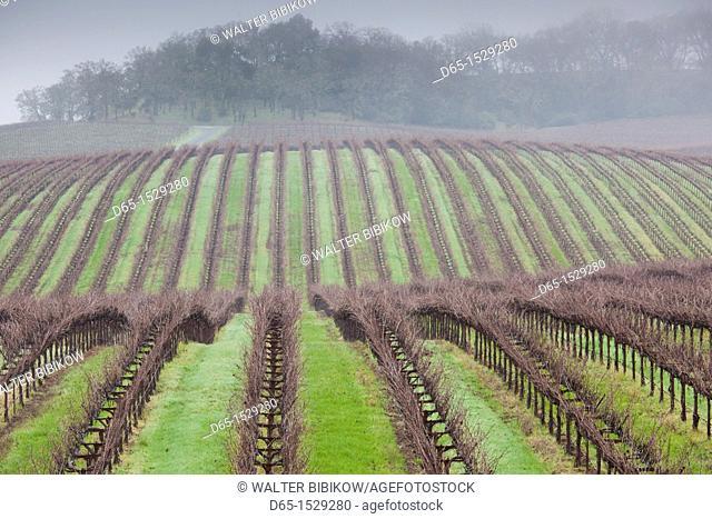 USA, California, Northern California, Russian River Wine Country, Asti, vineyard in winter