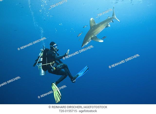 Scuba Diver and Oceanic Whitetip Shark, Carcharhinus longimanus, Brother Islands, Red Sea, Egypt