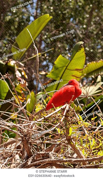 Scarlet ibis, Eudocimus ruber, bird is a bright pink bird found in the Caribbean and South America in rivers, marshes and streams