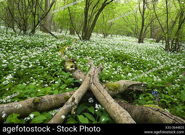 A carpet of Wild Garlic (Allium ursinum) or Ramson flowers during spring in Kingâ. . s Wood in the Mendip Hills near Axbridge, Somerset, England