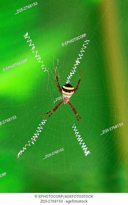 Signature Spider, Argiope Anasuja, India