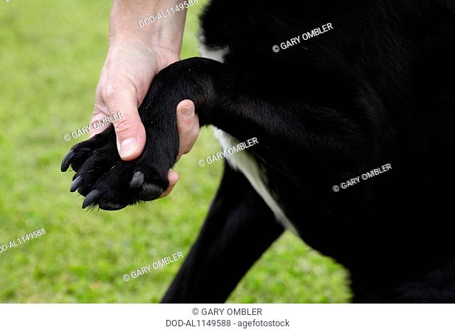 Dog health check: Owner checking Labrador's front paw